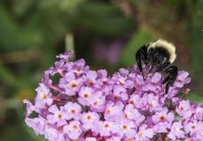 Bumblebee στη σίτιση λουλουδιών Στοκ Εικόνα