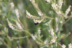 Bumblebee στη φύση στο μαλακό μουτζουρωμένο πράσινο και άσπρο υπόβαθρο θερινή γονιμοποίηση άνοιξης έννοιας Στοκ Εικόνες