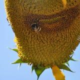 Bumblebee στον ηλίανθο Στοκ Εικόνες