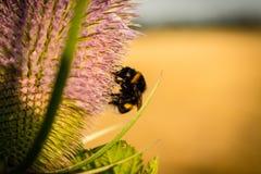 Bumblebee στον κάρδο Στοκ εικόνες με δικαίωμα ελεύθερης χρήσης