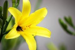 Bumblebee στον κίτρινο κρίνο στον κήπο ανασκόπηση που χρωματίζεται clos Στοκ Εικόνα