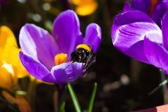 Bumblebee στον κρόκο Στοκ φωτογραφία με δικαίωμα ελεύθερης χρήσης