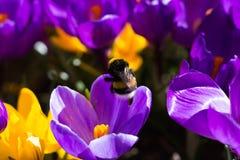 Bumblebee στον κρόκο Στοκ Εικόνα