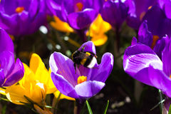 Bumblebee στον κρόκο Στοκ εικόνες με δικαίωμα ελεύθερης χρήσης