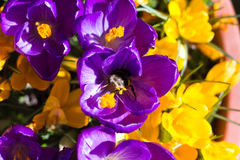 Bumblebee στον κρόκο Στοκ Φωτογραφίες