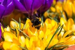 Bumblebee στον κρόκο Στοκ Φωτογραφία
