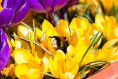 Bumblebee στον κρόκο Στοκ Εικόνες