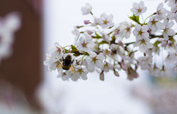 Bumblebee στον κλάδο sakura Στοκ εικόνα με δικαίωμα ελεύθερης χρήσης