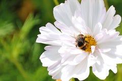 Bumblebee στο άσπρο λουλούδι Στοκ φωτογραφίες με δικαίωμα ελεύθερης χρήσης