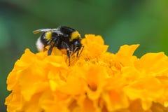 Bumblebee στο κίτρινο λουλούδι Μακροεντολή Στοκ εικόνες με δικαίωμα ελεύθερης χρήσης