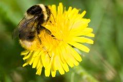 Bumblebee στο κίτρινο λουλούδι Στοκ φωτογραφία με δικαίωμα ελεύθερης χρήσης