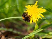 Bumblebee στο κίτρινο λουλούδι 2 Στοκ φωτογραφίες με δικαίωμα ελεύθερης χρήσης