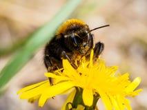 Bumblebee στο κίτρινο λουλούδι 4 Στοκ φωτογραφία με δικαίωμα ελεύθερης χρήσης