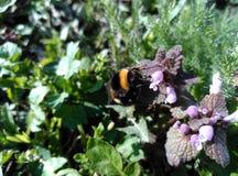 Bumblebee στο κατώφλι - ШР¼ ÐΜл ÑŒ Ð ½ а заÐ'Ð ½ ÐΜÐ ¼ Ð'Ð ² Ð ¾ Ñ€ÐΜ Στοκ Εικόνα
