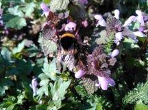 Bumblebee στο κατώφλι - ШР¼ ÐΜл ÑŒ Ð ½ а заÐ'Ð ½ ÐΜÐ ¼ Ð'Ð ² Ð ¾ Ñ€ÐΜ Στοκ Φωτογραφία