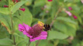 Bumblebee στο λουλούδι συλλέγει το νέκταρ και πετά μακριά φιλμ μικρού μήκους