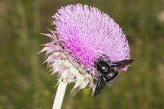 Bumblebee στο λουλούδι 01 κάρδων στοκ εικόνες με δικαίωμα ελεύθερης χρήσης
