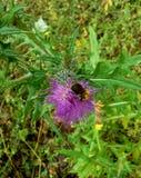 Bumblebee στο λουλούδι κάρδων Στοκ φωτογραφία με δικαίωμα ελεύθερης χρήσης