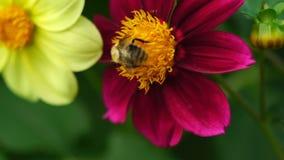 Bumblebee στο λουλούδι νταλιών απόθεμα βίντεο