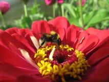 Bumblebee στο λουλούδι στη μακροεντολή Στοκ Εικόνα