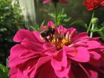 Bumblebee στο λουλούδι στη μακροεντολή Στοκ εικόνες με δικαίωμα ελεύθερης χρήσης