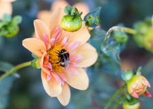 Bumblebee στο λουλούδι Στοκ εικόνα με δικαίωμα ελεύθερης χρήσης