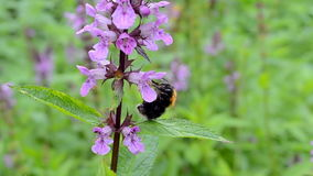 Bumblebee στο λουλούδι, Στοκ φωτογραφία με δικαίωμα ελεύθερης χρήσης