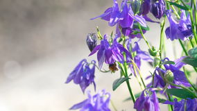 Bumblebee στο λουλούδι aquilegia απόθεμα βίντεο