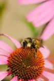 Bumblebee στο λουλούδι Echinacea. Στοκ Φωτογραφίες
