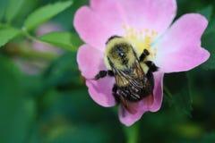 Bumblebee στο ρόδινο λουλούδι στοκ εικόνα