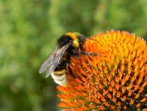 Bumblebee στο Echinacea Στοκ Εικόνες