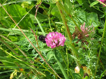Bumblebee στο wildflower Στοκ Φωτογραφία
