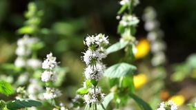 bumblebee συλλέγει το νέκταρ από ένα λουλούδι μεντών ανθίσεις μεντών στον κήπο φιλμ μικρού μήκους