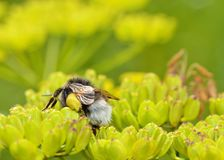 Bumblebee συλλέγει το νέκταρ από ένα λουλούδι Στοκ Φωτογραφίες
