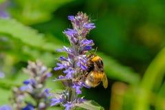 Bumblebee συλλέγει το νέκταρ από ένα μπλε λουλούδι στοκ εικόνα
