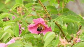 Bumblebee συλλέγει το νέκταρ από τα ρόδινα λουλούδια των άγρια περιοχών αυξήθηκε Βίντεο μήκους σε πόδηα 4K απόθεμα βίντεο