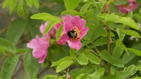 Bumblebee συλλέγει το νέκταρ από τα ρόδινα λουλούδια των άγρια περιοχών αυξήθηκε Βίντεο μήκους σε πόδηα 4K φιλμ μικρού μήκους