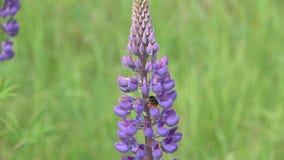 Bumblebee συλλέγει το νέκταρ σε ένα λουλούδι lupine, σε αργή κίνηση απόθεμα βίντεο