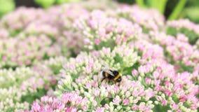 Bumblebee συλλέγει το νέκταρ στα λουλούδια φιλμ μικρού μήκους