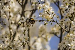 Bumblebee συλλέγει το νέκταρ στο δέντρο δαμάσκηνων την άνοιξη Στοκ φωτογραφία με δικαίωμα ελεύθερης χρήσης
