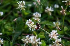 bumblebee συνεδρίαση σε ένα λουλούδι άσπρου τριφυλλιού σε ένα λιβάδι στοκ φωτογραφίες