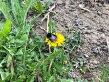 Bumblebee συνεδρίαση σε μια κίτρινη πικραλίδα με την πράσινη χλόη στοκ εικόνα με δικαίωμα ελεύθερης χρήσης