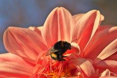 Bumblebee συνεδρίαση στο φωτεινό ανοικτό ροζ λουλούδι νταλιών στοκ φωτογραφία