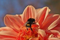 Bumblebee συνεδρίαση στο φωτεινό ανοικτό ροζ λουλούδι νταλιών στοκ εικόνα με δικαίωμα ελεύθερης χρήσης