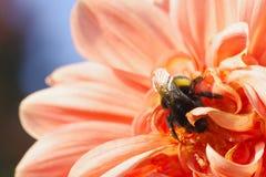 Bumblebee συνεδρίαση στο φωτεινό ανοικτό ροζ λουλούδι νταλιών στοκ φωτογραφίες