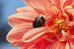 Bumblebee συνεδρίαση στο φωτεινό ανοικτό ροζ λουλούδι νταλιών στοκ εικόνα