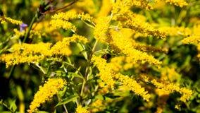 Bumblebee συνεδρίαση σε ένα λουλούδι Στοκ εικόνες με δικαίωμα ελεύθερης χρήσης