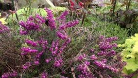 Bumblebee συνεδρίαση στο Μπους με τα ρόδινα λουλούδια Calluna απόθεμα βίντεο