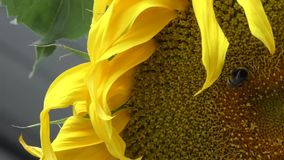 Bumblebee συλλέγει το νέκταρ σε έναν ισχυρό άνεμο απόθεμα βίντεο