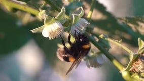 Bumblebee συλλέγει το νέκταρ σε ένα λουλούδι σμέουρων φιλμ μικρού μήκους